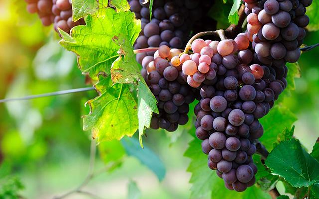 Pinot Gris Season
