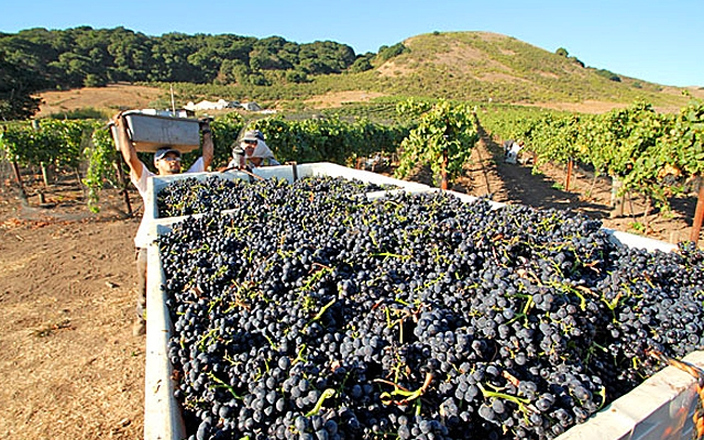 Harvest Report : California 2015