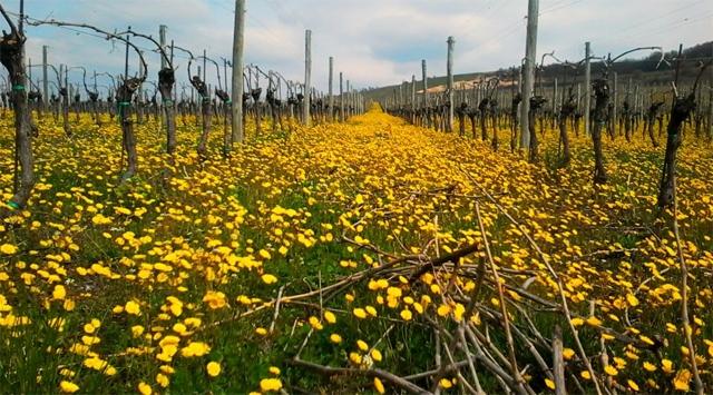 Real Wine: Gini Soave Classico