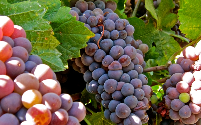 Grapes : Pinot Gris