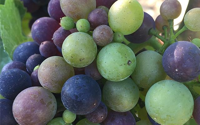 Top 10 : BC Pinot Gris