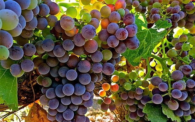 Grapes : Grenache