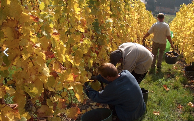 Harvest Report : Alsace 2016