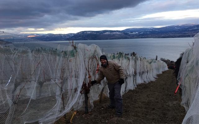 Harvest Report : BC Icewine 2016