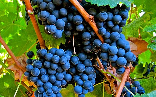 Grapes : Merlot