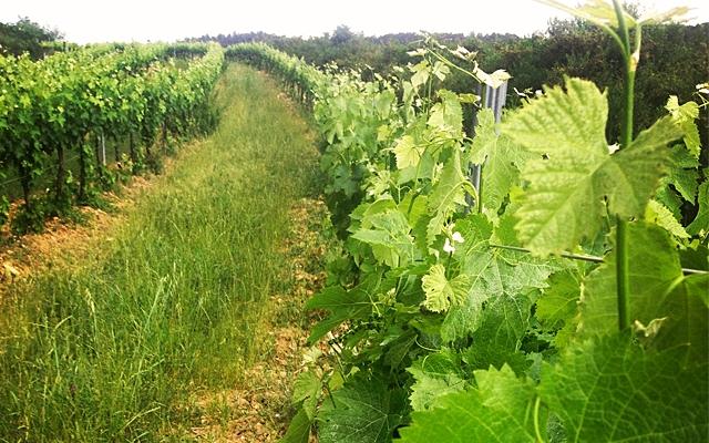 The Greening of Wine