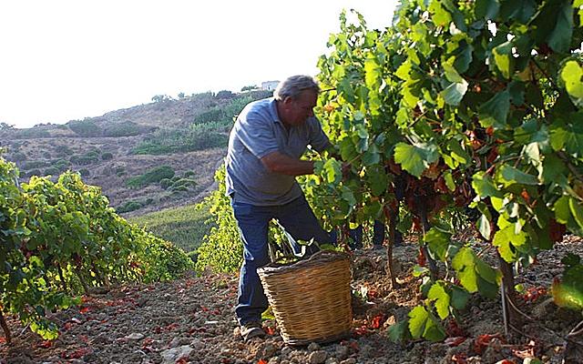 Harvest Report : Sicily 2015