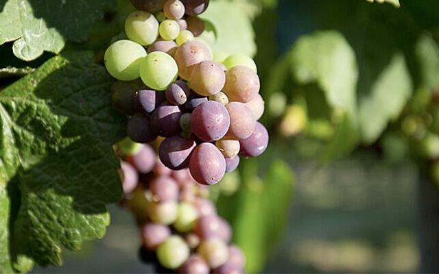 Top 10 : Pinot Gris