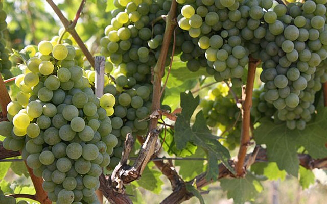 Top 10 : Grüner Veltliner - Gismondi on Wine